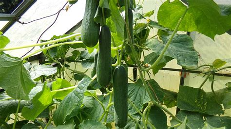 salatgurken anbauen im freiland und gew 228 chshaus