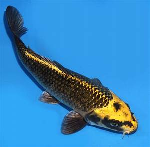 """Live koi fish 8"""" Black-yellow Dark Matsuba Pinecone Ghost ..."""