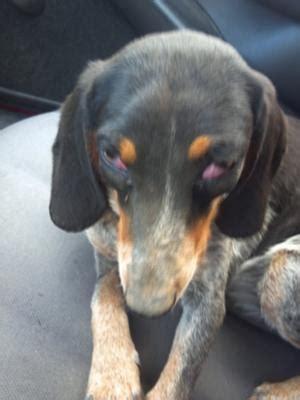 dogs eyes  bulging swollen   red organic pet