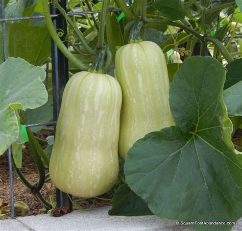 Light Green Squash by How To Harvest And Store Winter Squash Abundant Mini Gardens