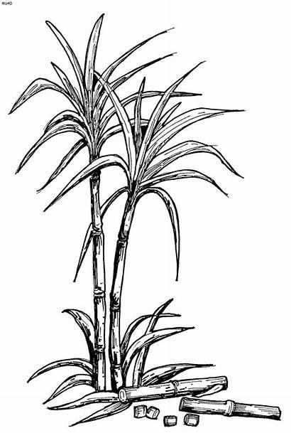 Sugar Sugarcane Clipart Drawing Plant Juice Cane