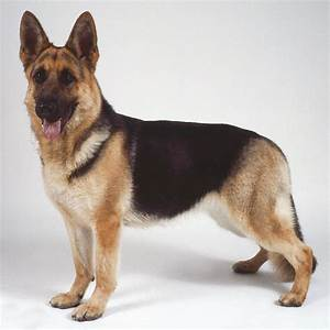 Cute Dogs: German Shepherd Dog
