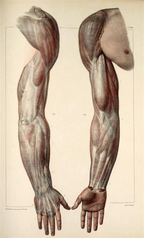 inspirational artworks anatomy images arms muscles anterior posterior anatomy pinterest