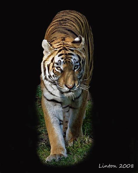 Asian Tiger Larry Linton