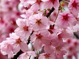 Rosa Blühende Bäume April : bilder von japanische kirschbl te rosa farbe blumen gro ansicht ~ Michelbontemps.com Haus und Dekorationen