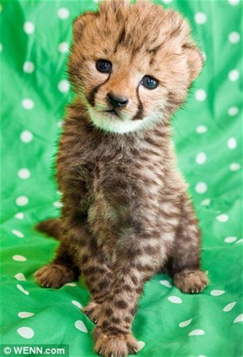 squeak squeak  cheetah cub reared  hand  sounds
