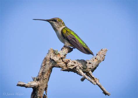 ruby throated hummingbird rhode island bird hunter