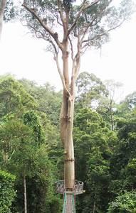 Pokok Tualang