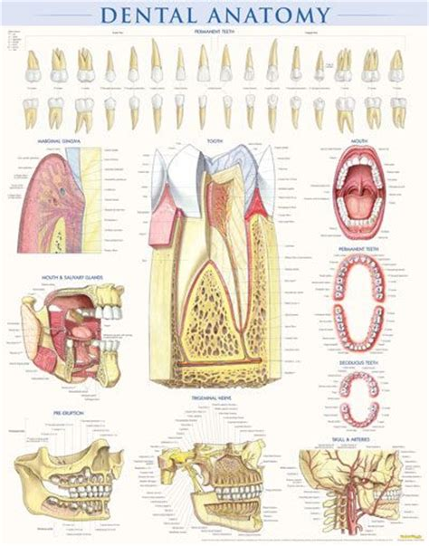 dental anatomy  poster  perfect  dentists periodontists orthodontists   doctor