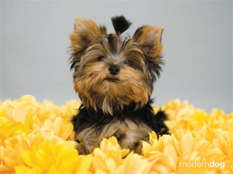 Yorkie Wallpapers And Screensavers