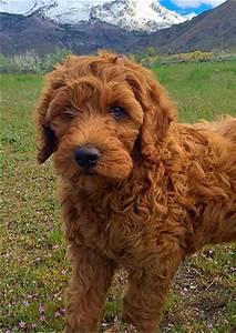 DoodlePups - Best mini goldendoodles in Utah