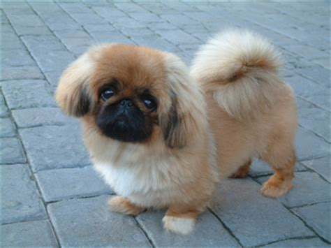 Haircuts For Pekingese Pictures   Dog Breeds Picture