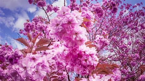 papeis de parede sakura flores de cerejeira florescem