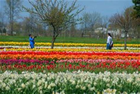 Veldheer Tulip Garden by Michigan Veldheer Tulip Gardens Photo Picture
