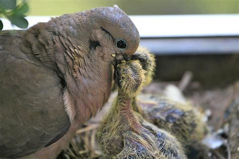 bird crop definition anatomy and digestion