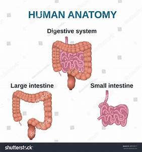 Circuit Structure Digestive System Colon Small Stock ...