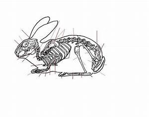 Veterinary Rabbit Skeleton