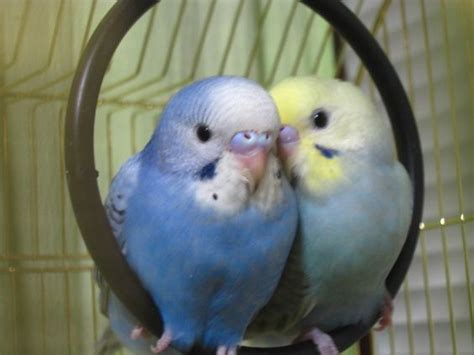 Funny Budgies