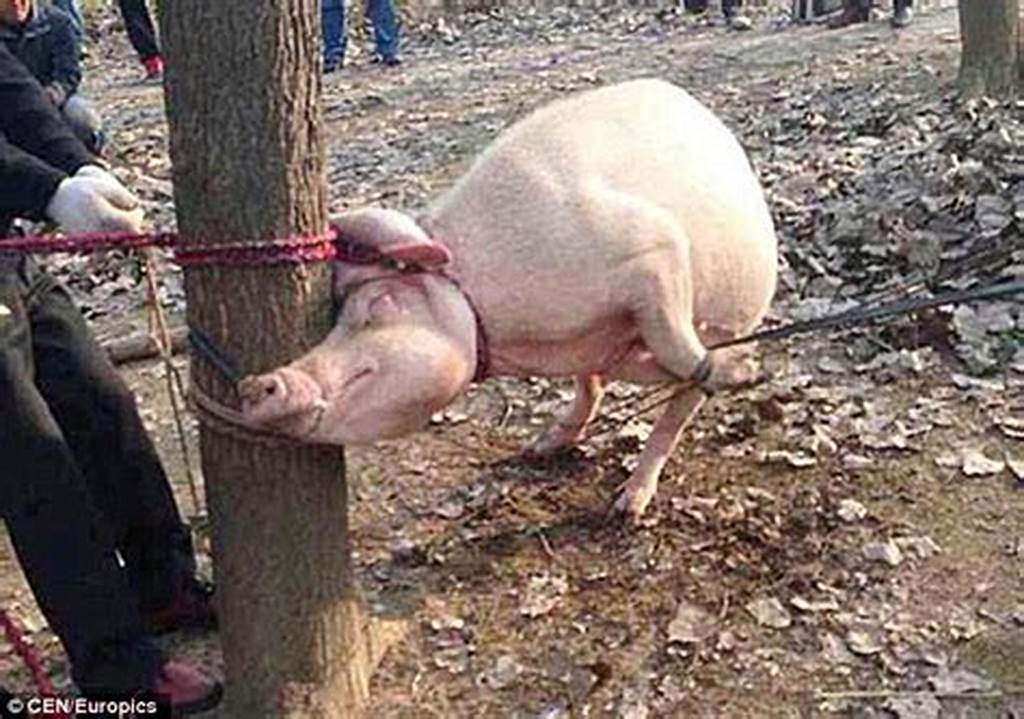 #Toddler #Is #Mauled #To #Death #And #Eaten #By #A #Pig #After