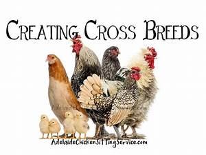 Blog Adelaide Chicken Sitting Service