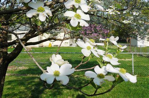 dogwood flowering tree clothespins flowering dogwood tree