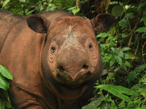 Eventually, our desire for the perfect cup pushed us to not only brew the perfect coffee, but roasting it as well. Sumatran Rhino | Species | WWF