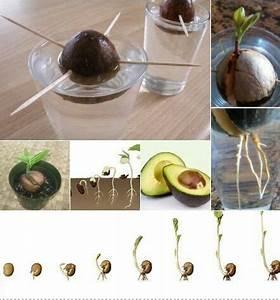 Avocado Baum Pflege :  ~ Orissabook.com Haus und Dekorationen
