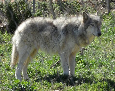 History of wolves in Yellowstone - Wikipedia