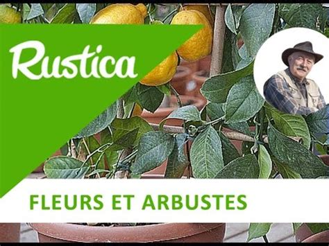 la culture d un citronnier en pot