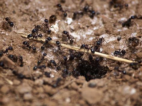rid  carpenter ants methods  kill