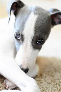 Italian Greyhound | FURRY AND FLUFFY FRIENDS | Pinterest
