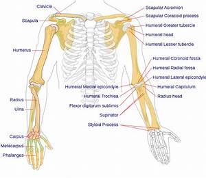 File Human Arm Bones Diagram Svg
