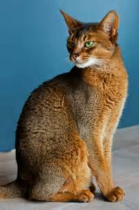 abyssinian cat size and weight of abyssinian cats many