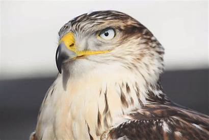 Hawk Wallpapers Ferruginous Bird Birds Grand Steeman