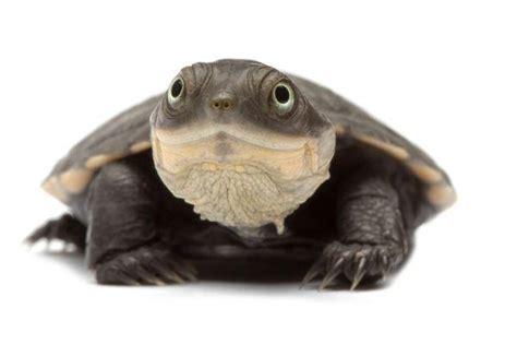 quelle hauteur d eau pour ma tortue aquatique envies animales