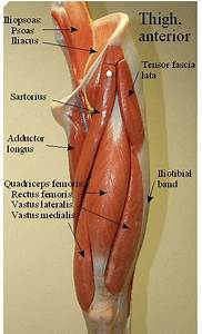 A  List The Four Muscles That Make Up The Quadriceps In