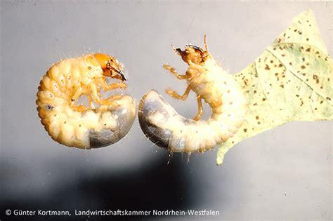 larven im rasen sch dlinge im rasen nachhaltig bek mpfen