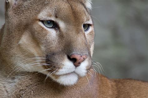 federal researchers declare eastern cougar extinct saloncom