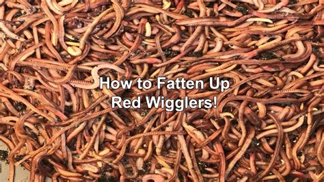 wigglers fatten