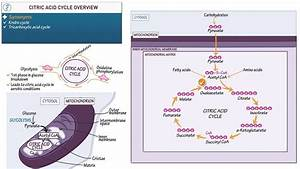 Biology And Biochemistry  Citric Acid Cycle Overview