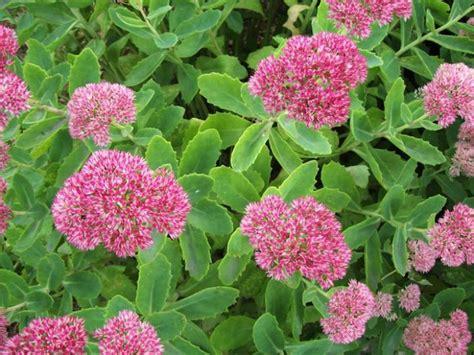sedum   plant grow  care  sedum plants