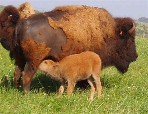 le ranch randals bisons lanuejols