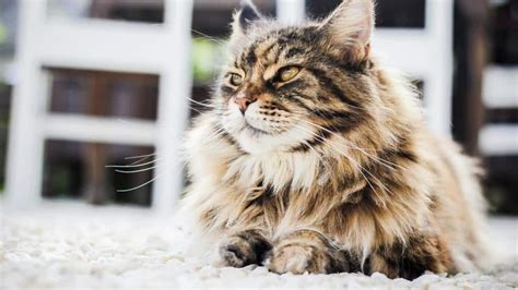 Katze Flöhe Was Tun by Haarausfall Bei Katzen Was Tun