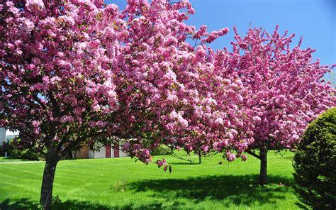 blooming trees in elegant flowering spring frees preparing outdoor area for summer pinterest blooming trees