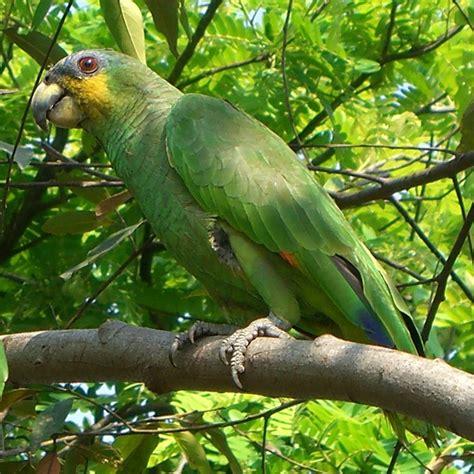amazon parrot wikipedia