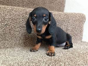 mini smooth haired dachshund puppy | Pontefract, West ...