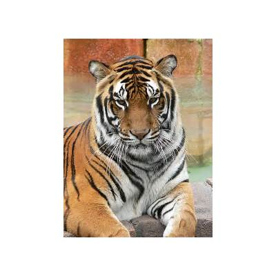Follow the Piper: Bengal Tigers