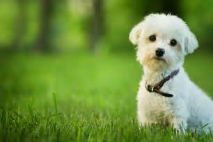 top 10 small dog breeds petmd petmd