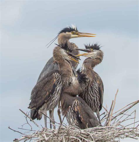 great blue heron nest   crowded birdnote