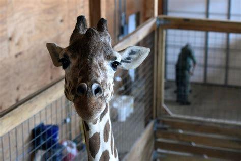 visit  april  giraffe  video  upstate